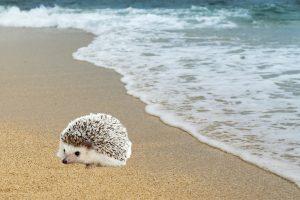 beach hog