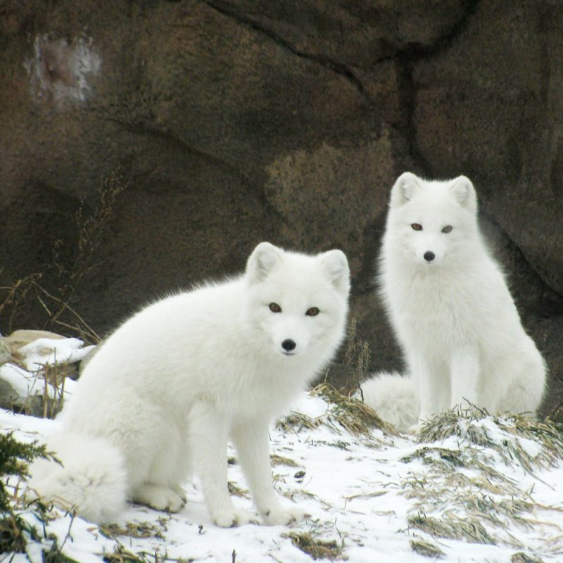 two arctic foxes